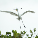 3329 Breeding Great Egret (Ardea alba), Florida