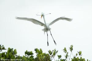 3329 Breeding Great Egret (Ardea alba), Florida