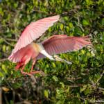 3331 Breeding Roseate Spoonbill (Platalea ajaja). Florida