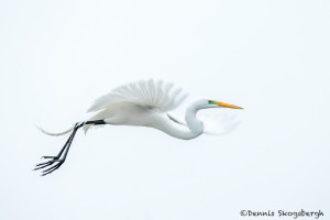 3341 Great Egret (Ardea alba), High Island Rookery, Texas