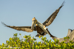 3342 Brown Pelicans (Pelicanus occidentalis), Florida