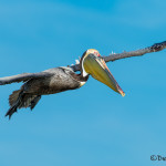 3345 Brown Pelican (Pelicanus occidentalis), Florida