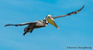 3345 Brown Pelican (Pelicanus occidentalis), Florida