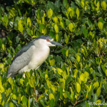3347 Black-crowned Night-Heron (Nycrucirax nycticorax), Florida