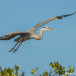3347 Great Blue Heron (Ardea herodius), Florida
