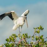 3348 Wood Stork (Mycteria americana), Florida