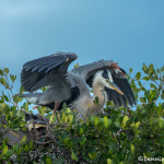 3350 Maternal Protection. Great Blue Heron and Chick (Ardea herodius), Florida