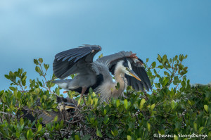 3350 Maternal Protection. Great Blue Heron and Chick (Ardea herodius), Florida