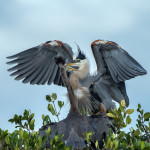 3351 Chick Feeding, Great Blue Heron (Ardea herodius), Florida