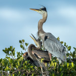 3352 Great Blue Heron and Chick (Ardea herodius), Florida