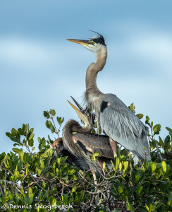 3352 Great Blue Heron and Chick (Ardea herodius), Florida