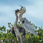 3353 Great Blue Heron and Chick (Ardea herodius), Florida