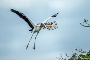 3354 Wood Stork (Mycteria americana), Florida