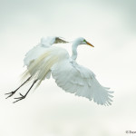 3357 Great Egret (Ardea alba), Florida