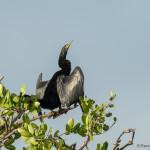 3358 Breeding Male Anhinga (Anhinga anhinga), Florida