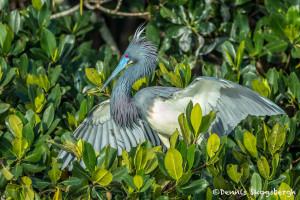 3359 Breeding Plumage, Tri-colored Heron (Egretta tricolor), Florida