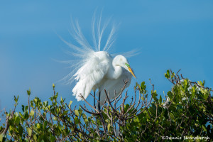 3360 Breeding Great Egret Display (Ardea alba), Florida