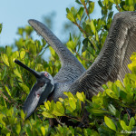 3361 Brown Pelican (Pelicanus occidentalis), Florida