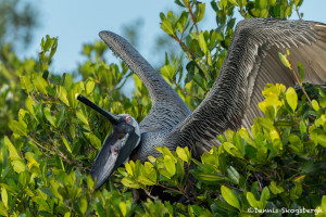 3361 Brown Pelican (Pelicanus occidentalis), Florida