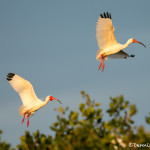 3362 Breeding White Ibis (Bulbucus ibis), Florida