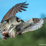 3363 Osprey (Pandion haliaetus), Florida