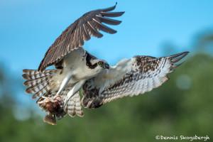 3363 Osprey (Pandion haliaetus), Florida