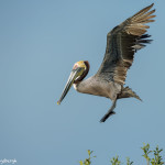 3364 Breeding Brown Pelican (Pelicanus occidentalis), Florida