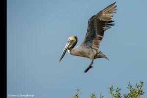 3364 Breeding Brown Pelican (Pelicanus occidentalis), Florida