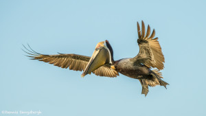 3366 Breeding Brown Pelican (Pelicanus occidentalis), Florida
