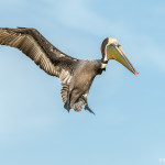 3367 Breeding Brown Pelican (Pelicanus occidentalis), Florida