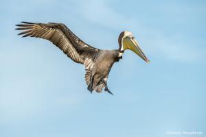 3367 Breeding Brown Pelican (Pelicanus occidentalis), Florida