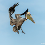 3368 Breeding Brown Pelican (Pelicanus occidentalis), Florida