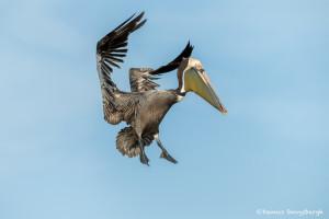 3368 Breeding Brown Pelican (Pelicanus occidentalis), Florida