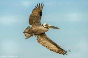 3369 Breeding Brown Pelican (Pelicanus Occidentalis), Florida