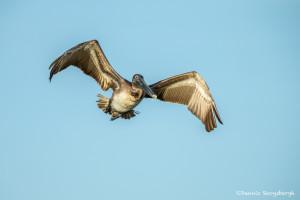 3370 Juvenile Brown Pelican (Pelicanus occidentalis), Florida
