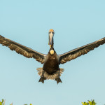 3371 Breeding Brown Pelican (Pelicanus occidentalis), Florida