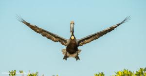 3371 Breeding Brown Pelican (Pelicanus occidentalis), Florida