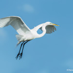 3372 Breeding Great Egret (Ardea alba), Florida