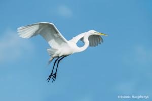 3372 Breeding Great Egret (Ardea alba), Florida