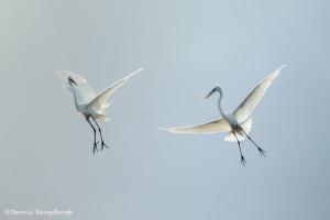 3373 Courtship Display, Great Egrets (Ardea alba), Florida