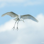 3374 Breeding Great Egret (Ardea alba), Florida