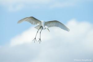 3374 Breeding Great Egret (Ardea alba), Florida