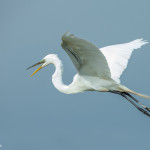 3375 Breeding Great Egret (Ardea alba), Florida