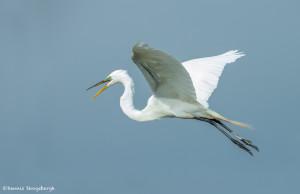 3375 Breeding Great Egret (Ardea alba), Florida