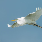 3376 Breeding Great Egret (Ardea alba), Florida