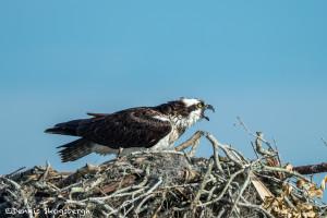 3377 Osprey (Pandion haliaetus), Florida