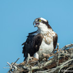 3378 Osprey (Pandion haliaetus), Florida