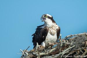 3378 Osprey (Pandion haliaetus), Florida