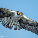 3379 Osprey (Pandion haliaetus), Florida