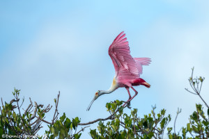 3381 Roseate Spoonbill (Platela ajaja), Florida